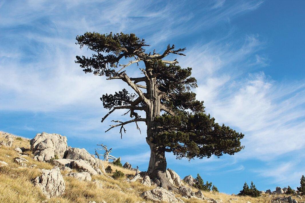 Самое старое дерево Европы, фото из открытых источников